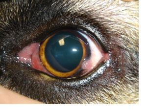 犬 角膜 ジストロフィー